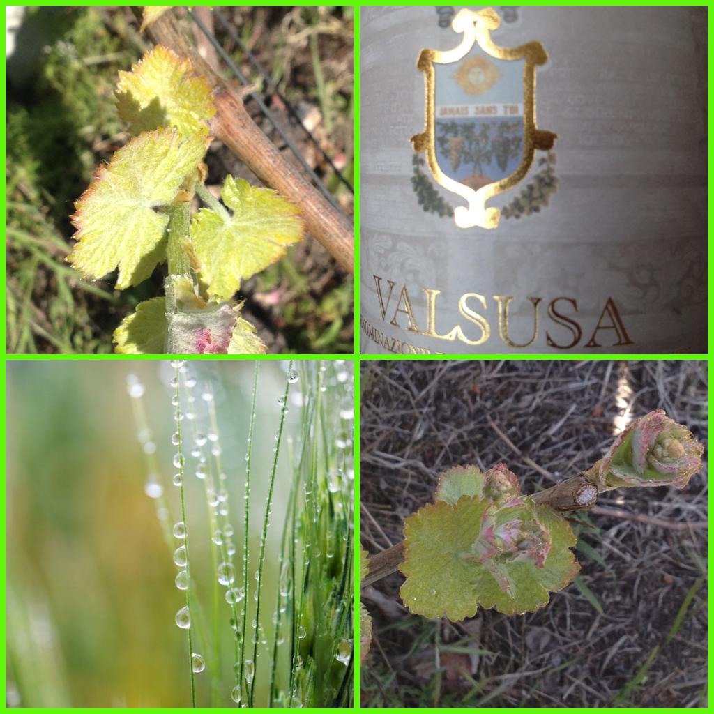 sole , pioggia ... e crescono i grappoli vini CASA RONSIL vini VALSUSA D.O.C