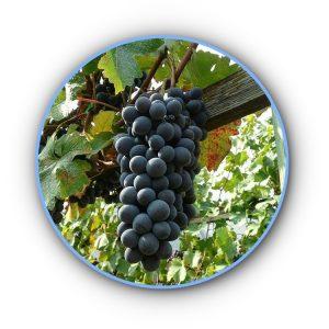 becuet grape variety