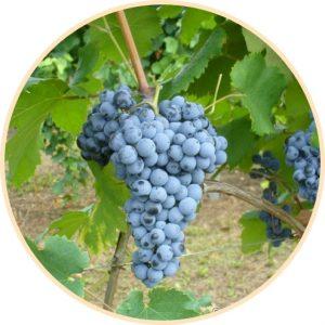 chatus vitigno Casa Ronsil Vini