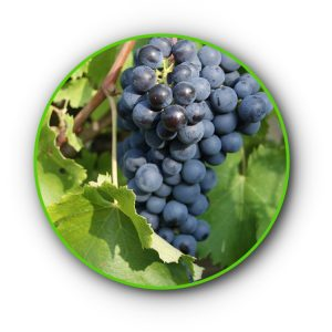 avanà vitigno del Alta val di susa a Chiomonte (TO) Piemonte Italia.